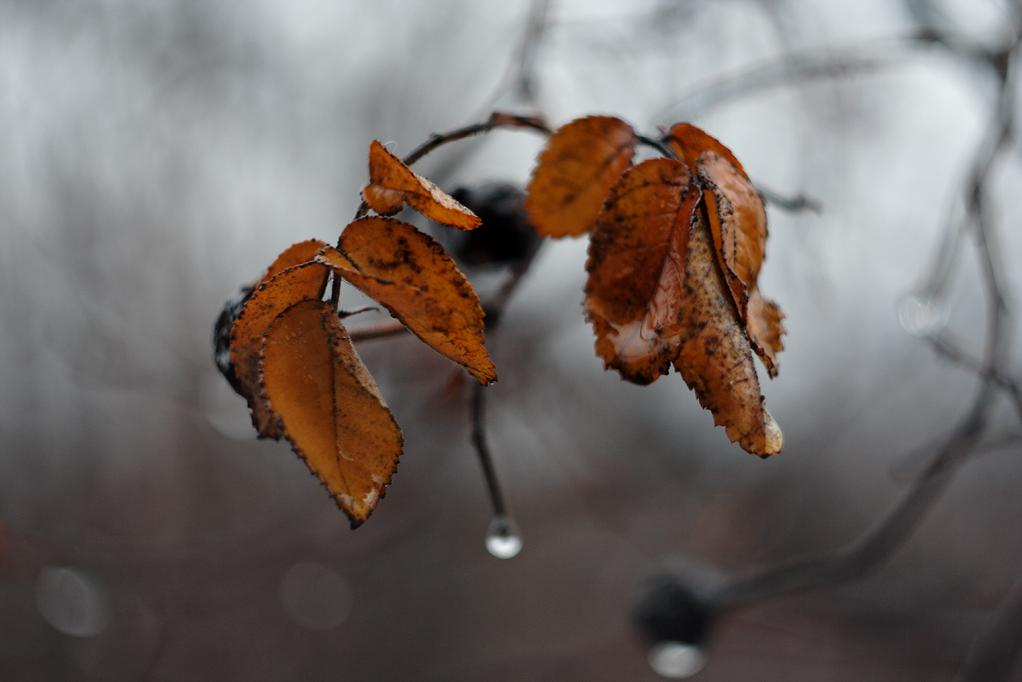 Leaves of wild rose